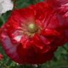 Die roten und weißen Töne dominieren bei Papaver rhoeas 'Supreme'.
