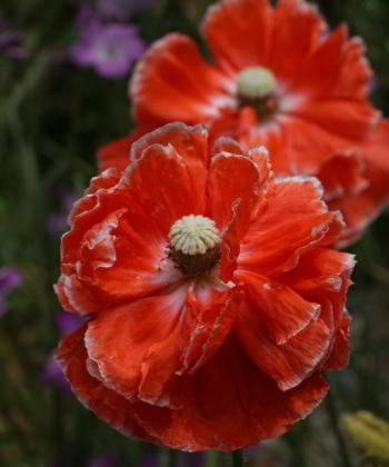 Papaver rhoeas 'Supreme' zeigt viele verschiedene Blütenvarianten.