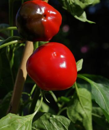 Die Paprika 'Baby Bell' macht viele leckere rote Früchte.