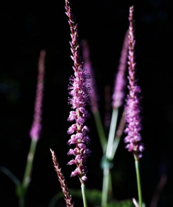 Persicaria amplexicaulis 'Sommerfrische' bleibt kompakt und wächst sehr ordentlich. Die Pflanzen haben einen bläulichen Farbton.