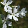 Der duftende weiße Waldphlox Phlox divaricata 'Fuller´s White' wird nur 20 cm hoch und kann auch flächendeckend im Garten eingesetzt werden.