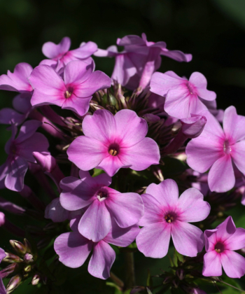 Phlox 'Lichtspel' ist eine niederländische Auslese des hohen Sommephlox. Die Pflanzen sind standfest und blühen gut.