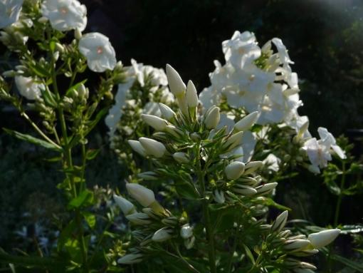 Phlox 'Monte Cristallo' setzt reichlich Knospen an. Die Flammenblume wird etwa 150 cm hoch und blüht weiß.