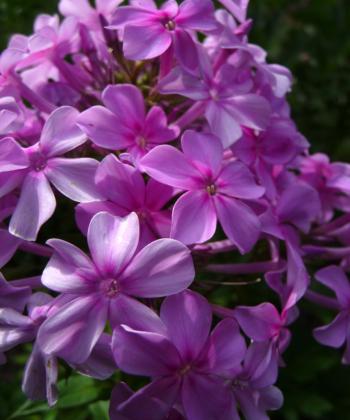 Phlox 'Plumeria' haben wir nach einer anderen Pflanze benannt, der Plumerie (Frangipani).