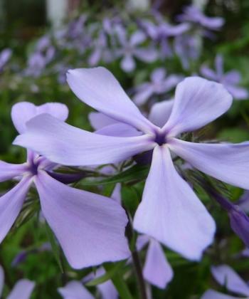 Beim Waldphlox Phlox divaricata 'Clouds of Perfume' ist der Name Programm: Er duftet wie ein Parfüm.