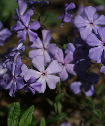 Der Waldphlox Phlox divaricata 'Borboletta' bereichert die blütenarme Staudenzeit von April bis Juni.