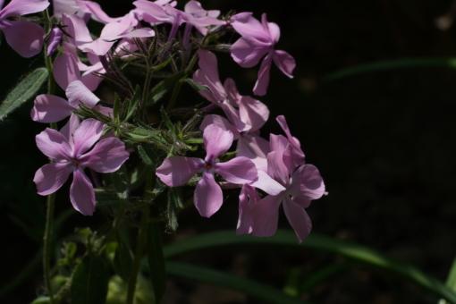 Phlox divaricata 'Charleston Pink' ist eine Sensation. Noch nie gab es eine Waldphlox mit dieser Farbe.