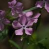 Phlox divaricata 'Charleston Pink' wurde von Dr. Wesley Whiteside gezüchtet. Die Pflanze haben wir aus den USA eingeführt.
