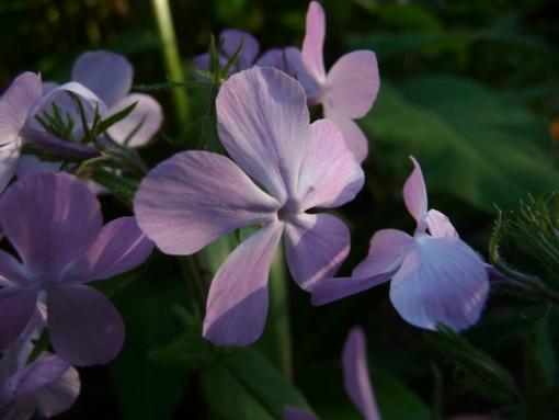 Die Blüten des Waldphloxes Phlox divaricata 'Charleston Pink' bekommen zum kühlen Abend hin einen violetten Ton.