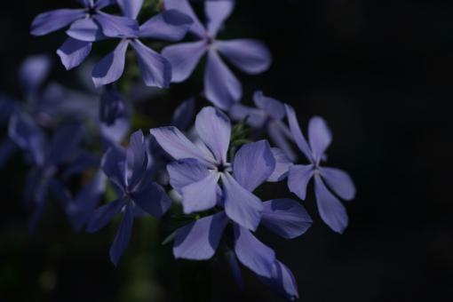 Beim Phlox divaricata 'Clouds of Perfume' sehen die Blüten aus wie ein blaues Windrad.