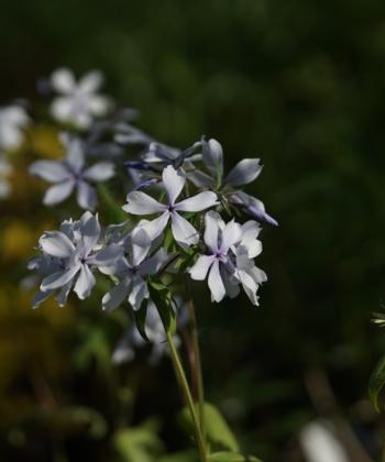 Phlox divaricata 'Dirigo Ice' duftet wunderschön und wird etwa 30 cm hoch. Waldphloxe sollten sonnig bis halbschattig stehen.