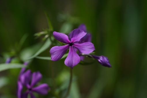 Phlox divaricata 'Eco Texas Purple' hat tief violette Blüten, die zur Mitte hin rötlich werden. Ein besonderer Waldphlox.