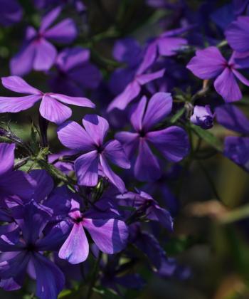 Eine weitere Besonderheit von Phlox divaricata 'Eco Texas Purple' ist, dass er im Gegensatz zu anderen Waldphloxen horstig wächst.