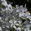 Phlox divaricata 'May Breeze' ist eine fast schneeweiße Sorte des Waldphloxes mit einem ganz zarten, eisblauen Hauch in der Blütenmitte.
