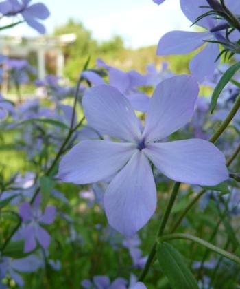 Phlox divaricata ssp. laphami ist eine Wildart des Waldphloxes mit natürlich wirkenden pastellfarbenen Blütenwolken.