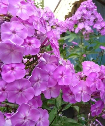 Phlox paniculata 'Da Capo II' sieht nicht nur in einem Bauerngarten schön aus.