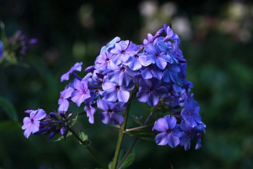 Phlox paniculata 'Blaue Urgewalt' hat eine satt blaue Farbe und gesunde kräftige Stängel. Die Farbe spielt etwas mit der Temperatur.