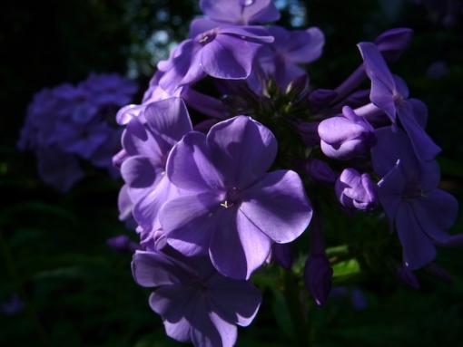 Phlox paniculata 'Blaue Urgewalt' ist ein blauer Phlox den wir in unserer Gärtnerei Staudenfan gezüchtet haben.