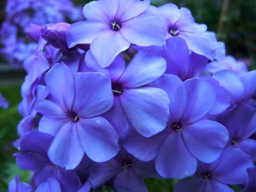 Phlox paniculata 'Blaue Urgewalt' ist eine Eigenzüchtung, die wir 2014 eingeführt haben.