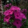 Phlox paniculata 'Classic Cassis' hat eine verrauchte Farbgebung und kann im Garten gut mit Persicaria kombiniert werden.