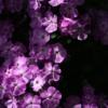 Phlox paniculata 'Da Capo II' blüht fleissig mit großen herrlich duftenden Blüten.