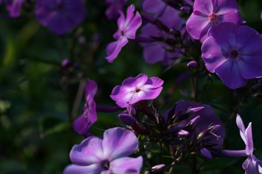 Phlox paniculata 'Da Capo II' blüht früh und läutet als einer der Ersten die Saison des hohen Sommerphloxes ein.