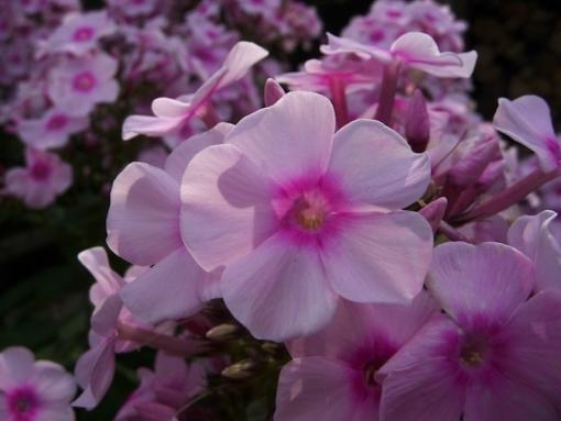 Phlox paniculata 'Europa' ist eine überreich blühende Flammenblume für den Garten.