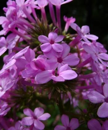 Phlox paniculata 'Jeana' hat einen sehr intensiven Duft, der sich bei windstille über den Garten legt.