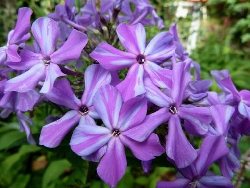 Phlox paniculata 'Katrin Eva Walter' hat häufig auch gestreifte Blüten. Der Phlox ist sehr variable, aber stets schön anzusehen.