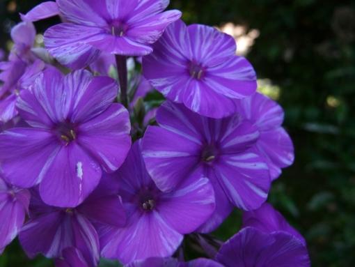 Die Blüten von Phlox paniculata 'Lasse' duften und sind sehr variabel.