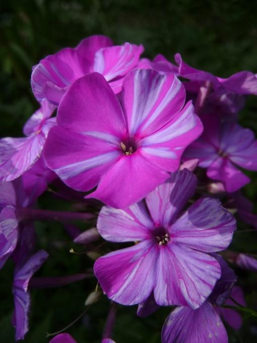 Phlox paniculata 'Lasse' ist ein aussergewöhnlicher Sommerphlox: Jede Blüte ist ein Unikat.