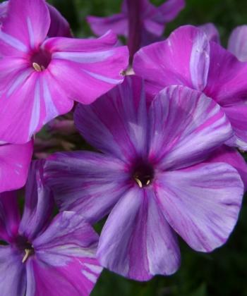 Phlox paniculata 'Lasse' ist ein Findling, der vielbeachteten dänischen Gartenbuchautorin Brigitte Husted Bendtsen.