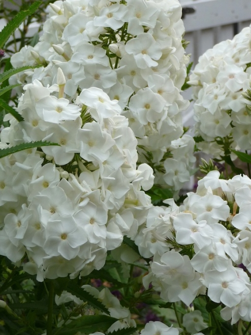 Phlox paniculata 'Monte Cristallo' ist eine warmweiße blühende Flammenblume des deutschen Gärtners Karl Foerster.