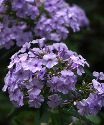 Phlox paniculata 'Morgengrauen' hat eine eigenwillige mystische Farbe: violett-grau-blau.