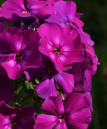 Phlox paniculata 'Shapka Monomakha' hat eine fantastisch schöne Farbe. Aus dem russischen übersetzt beudeutet der Name: