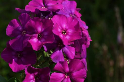 """Phlox paniculata 'Shapka Monomakha' hat eine fantastisch schöne Farbe. Aus dem russischen übersetzt beudeutet der Name: """"Zaren-Kappe""""."""