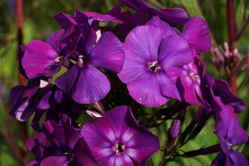 Phlox paniculata 'Shapka Monomakha' ist eine russische Flammenblume mit einer intensiven Farbgebung.