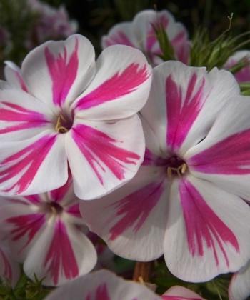 Die zweifarbigen Blüten von Phlox paniculata 'Twister' sind glasklar und ordentlich gestreift. Eine auffällige Pflanze.