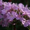 Die Flammenblume Phlox 'Utopia' ist eine der großblütigsten und höchsten Sorten des hohen Sommerphloxes.