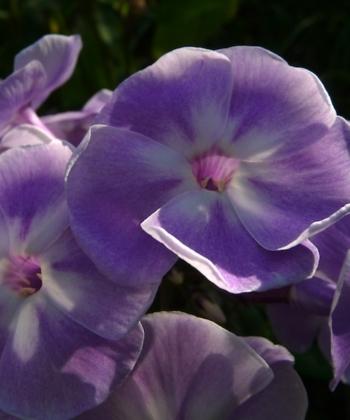 Phlox paniculata 'Violetta Gloriosa' ist eine altbewährte Flammenblume des deutschen Gärtners Karl Foerster.