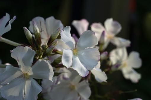 Bei Phlox paniculata 'Wolke Nr. 7' ballen sich wolkengleich hohe Blütentürme auf. Ein besonderer Sommerphlox.