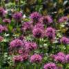 Ein besonders schön blühender niedrieger Bodendecker: Der Rosenwaldmeister Phuopsis stylosa 'Purpurglut'.