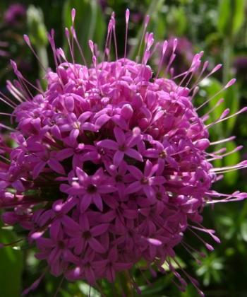 Der Rosenwaldmeister Phuopsis stylosa 'Purpurglut' besitzt eine lange Blütezeit, in der er viele runde Blütenbälle hervorbringt.