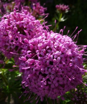 Phuopsis stylosa 'Purpurglut', der Rosenwaldmeister, ist ein Traum von einem Bodendecker. Er bildet richtige Blütenteppiche.