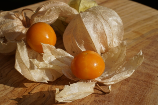 Physalis peruviana 'Bea's Dicke' besitzt besonders große Früchte.