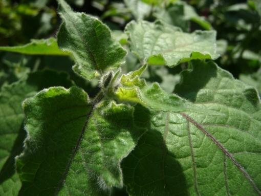 Die Andenbeere Physalis peruviana 'Colombia No. 1' hat satt grünes Laub und bildet schon früh die ersten Früchte.