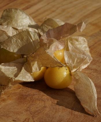 Die zahlreichen Früchte von Physalis pruinosa 'Geltower Selektion' schmecken nach Exotik pur.