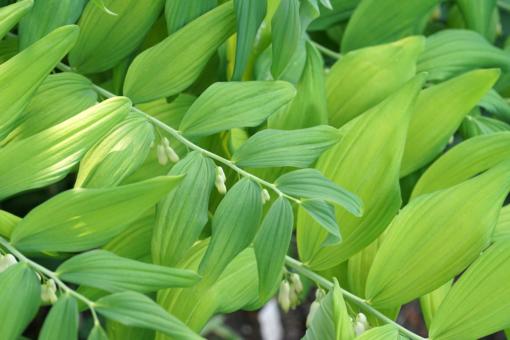 Polygonatum 'Golden Gift' braucht etwas Sonne um sich auszufärben, daher sollte der Salomonssiegel nicht zu schattig gepflanzt werden.