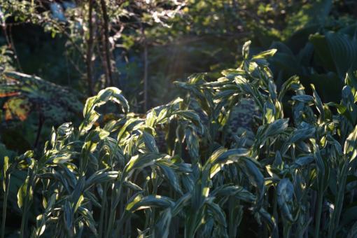 Die gebogenen Triebe des Salomonssiegels Polygonatum x 'Striatum' im Morgenlicht.