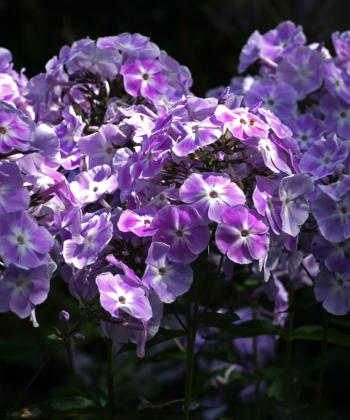 Der Phlox 'Pospero' ist traumhaft schön und einer der besten klasischen Sorten des hohen Sommerphloxes.
